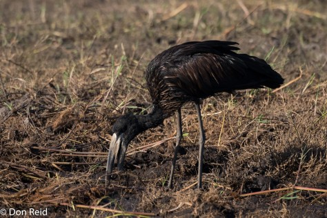 African Openbill, Chobe River Boat Trip