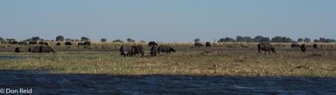 African Buffalo, Chobe River Boat Trip