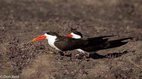 African Skimmer, Chobe River Boat Trip