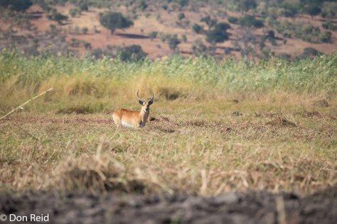 Red Lechwe, Chobe River Boat Trip