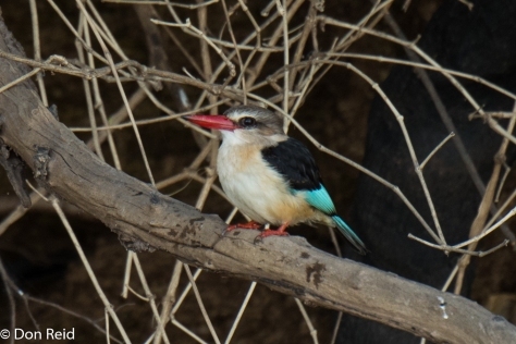 Brown-hooded Kingfisher, Chobe River Boat Trip