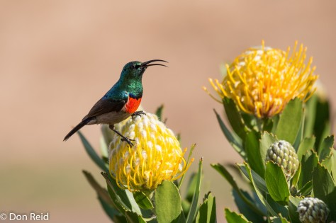 Greater Double-collared Sunbird, Mossel Bay