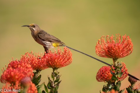Cape Sugarbird, Mossel Bay