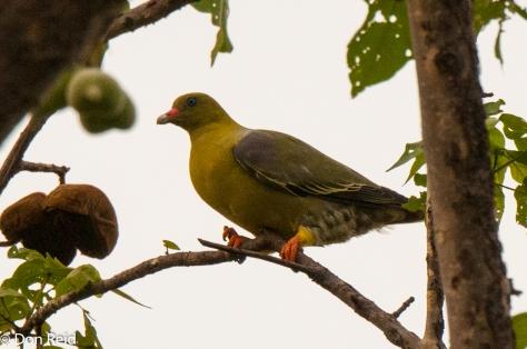 African Green Pigeon, Seboba Nature Park Kasane