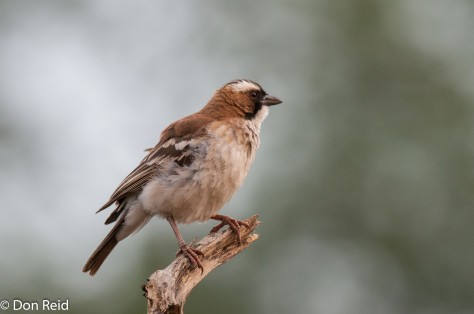 White-browed Sparrow-Weaver, Seboba Nature Park - Kasane