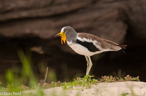 White-crowned Lapwing, Seboba Nature Park - Kasane