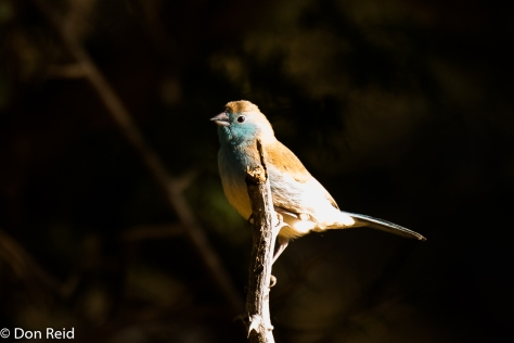 Blue Waxbill, Seboba Nature Park Kasane