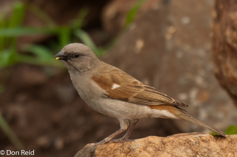 Southern Grey-headed Sparrow, Seboba Nature Park Kasane