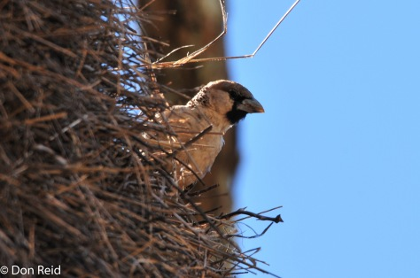 Sociable Weaver, Boskop Dam (Potch)