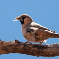 Bird in the Lens - Sociable Weaver