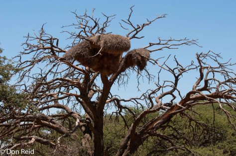 Sociable Weaver nest near Hoopstad