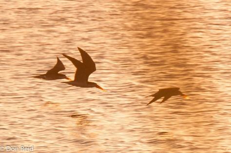 Afrcan Skimmer, Chobe Game Reserve