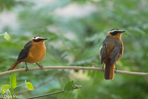 White-browed Robin-Chat, Thebe Safari Lodge