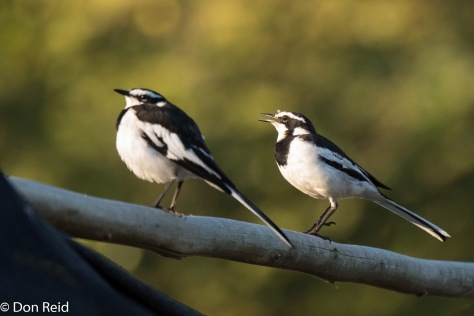 African Pied Wagtail, Thebe Safari Lodge