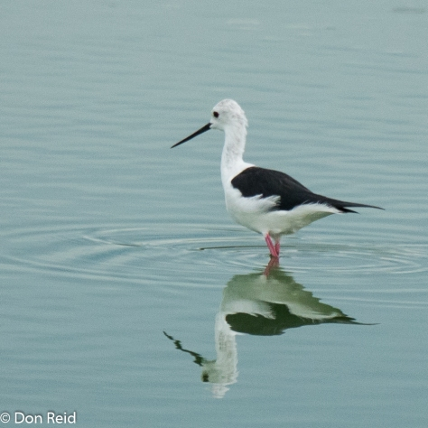 Black-winged Stilt, Kasane Water Treatment