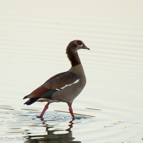 Egyptian Goose, Kasane Water Treatment