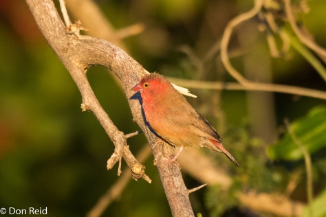 Red-billed Firefinch, Kasane Water Treatment
