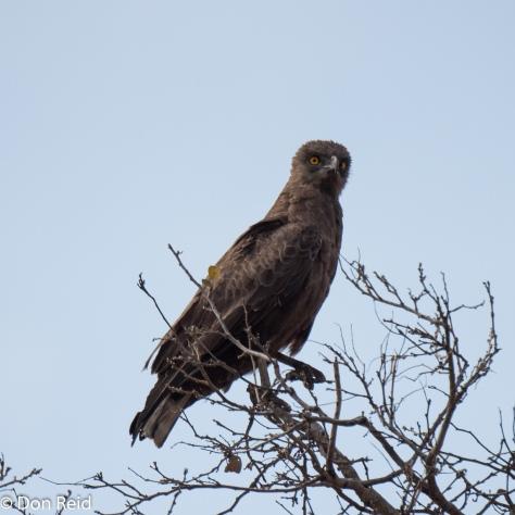 Brown Snake-Eagle, Satara - Tshokwane road KNP