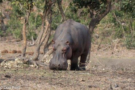 Hippo, Ngotso