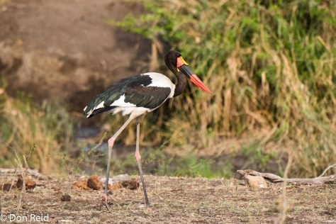 Saddle-billed Stork, Ngotso (Olifants - Satara road), KNP