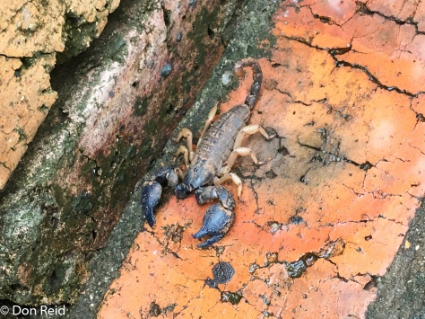 Scorpion, KNP