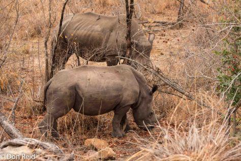 White Rhino, Berg en Dal KNP