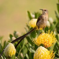 The Nectar Lovers of the Southern Cape