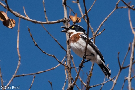 Chinspot Batis, Olifants KNP