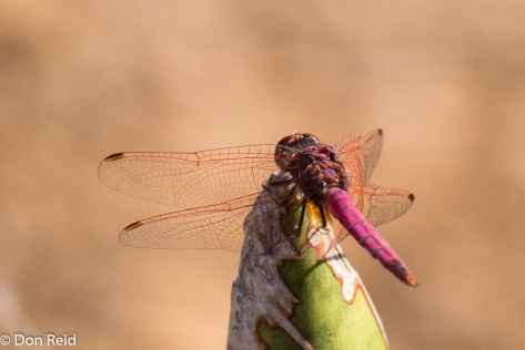 Dragonfly ?, Olifants river KNP
