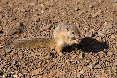 Tree Squirrel (from hell!), Olifants river KNP