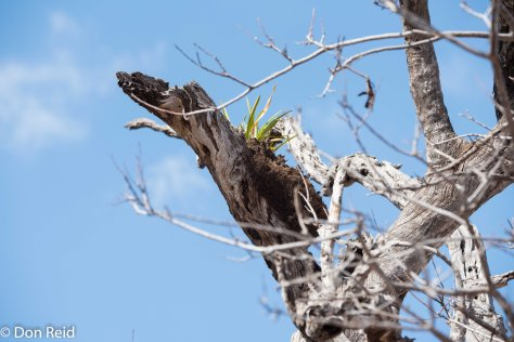 Plant (Wild Iris?) growing in dead tree, Olifants river KNP