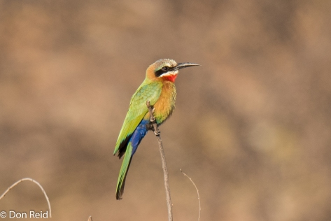 White-fronted Bee-eater, Balule KNP