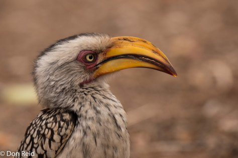 Southern Yellow-billed Hornbill, Olifants KNP