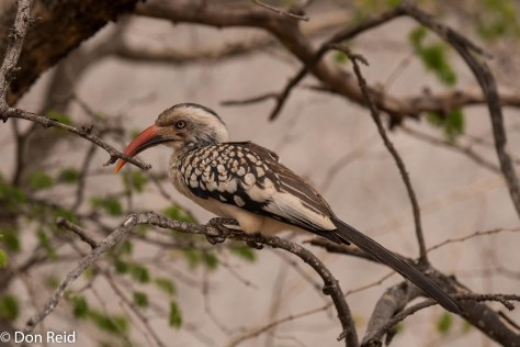 Southern Red-billed Hornbill, Olifants KNP