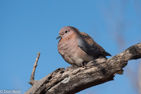 Laughing Dove, Olifants KNP