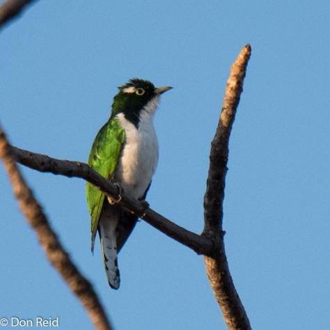 Klaas's Cuckoo, Olifants KNP