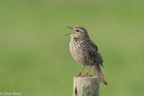 Agulhas Long-billed Lark giving it all with his distinctive call