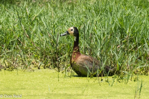White-faced Duck on farm dam
