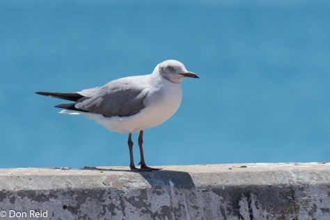 Grey-headed Gull (light eye differentiates it from the similar looking Hartlaub's Gull) at Mossel Bay's Point
