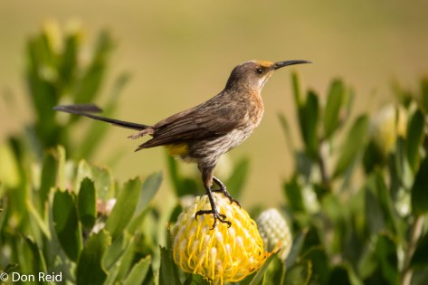 Cape Sugarbird - loves the Pincushions!
