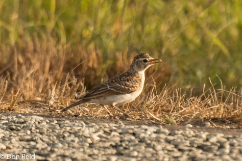 "Large-billed Lark - often heard before being seen, with its ""squeaky gate"" call"