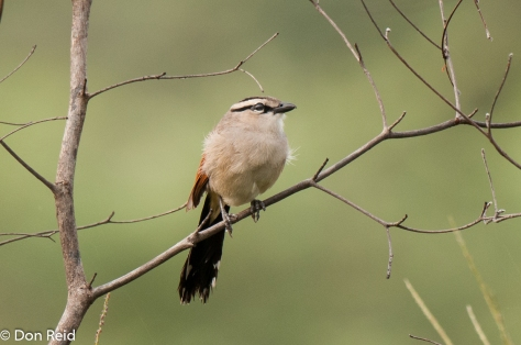 Brown-crowned Tchagra, Caprivi Houseboat Lodge