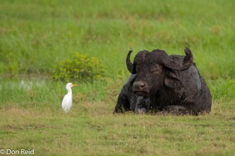Lone muddy Buffalo, Chobe NP