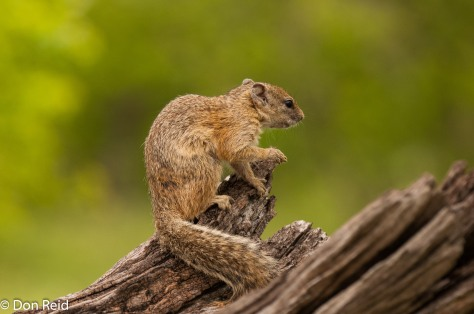 Tree Squirrel, Chobe NP