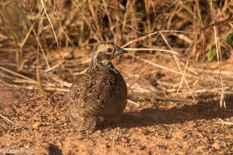 Swainson's Spurfowl (Juvenile), Delmas area