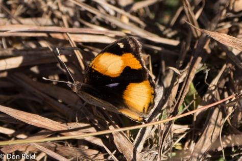 Butterfly, Verlorenkloof