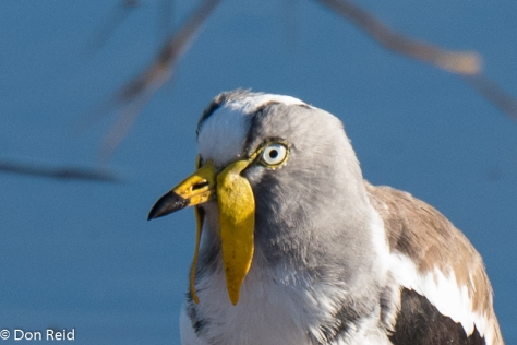 White-crowned Lapwing, Chobe Riverfront