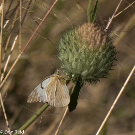 Butterfy, Chobe Riverfront