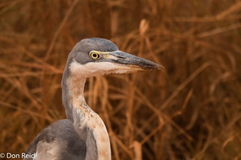 Black-headed Heron, Delmas area