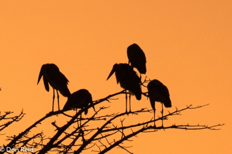 Marabous roost at sunset, Kasane